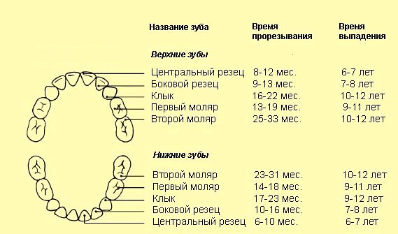 схема прорезывания и выпадения зубов